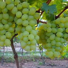 维多利亚葡萄种植基地无公害葡萄采购-优质葡萄批发