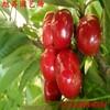 成都自产自销樱桃树苗大量批发