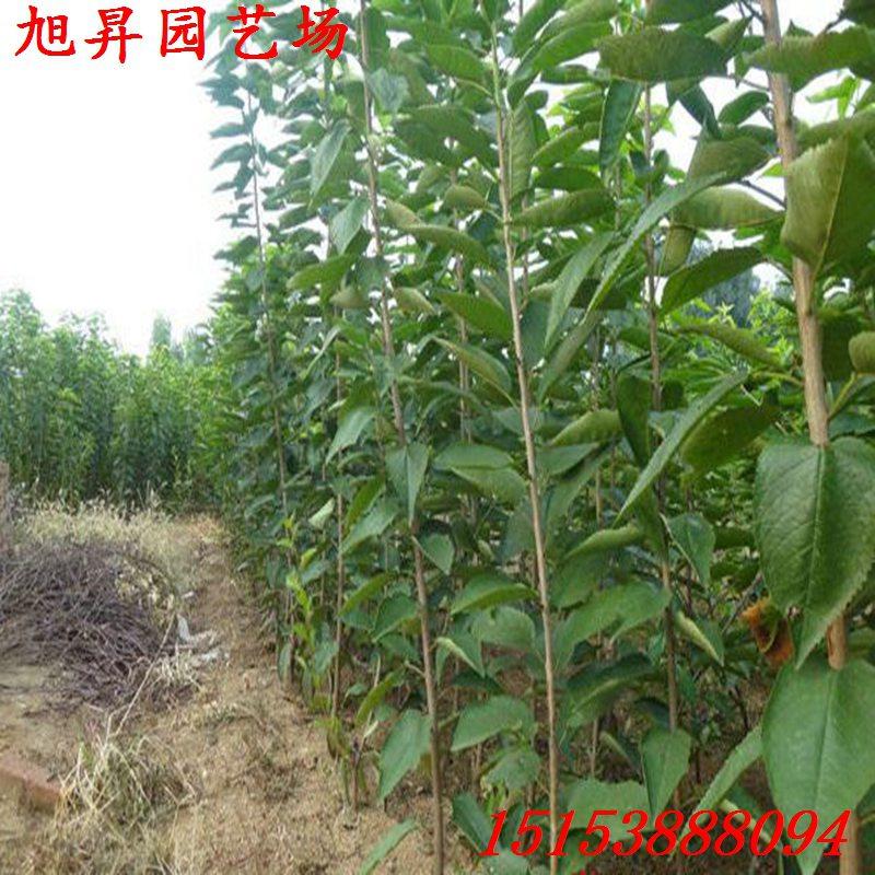 重慶市培育紅燈櫻桃苗種植基地