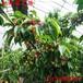 雞西自產自銷拉賓斯櫻桃苗種植環境