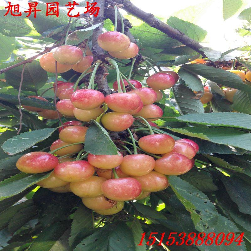石家莊高產早大果櫻桃苗價格