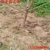 六枝专业培育吉塞拉樱桃苗种植基地