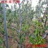四川省自产自销福辰樱桃苗一亩产量多少