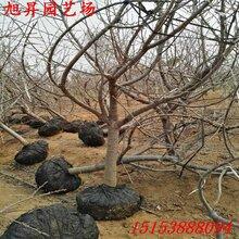 潞(lu)西脫毒黃(huang)蜜櫻桃苗(miao)超豐產(chan)圖片