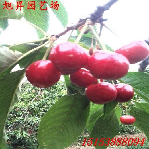 湖南省自產自銷晚紅珠櫻桃苗廠家電話