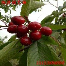 大连高产拉宾斯樱桃苗的特点图片