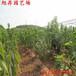 延慶易成活晚紅珠櫻桃苗致富新品種