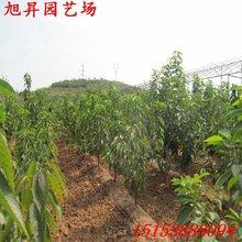 益阳高产黄蜜樱桃苗供应图片