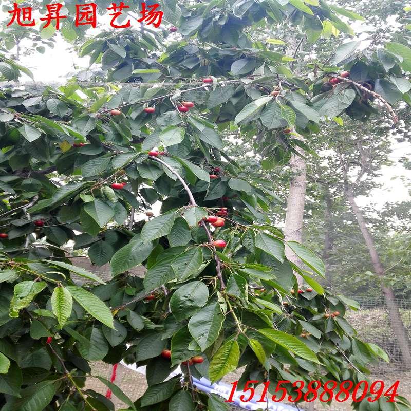 西宁种子网 西宁苗木/果木种子 西宁樱桃树种子 西宁脱毒红灯樱桃苗