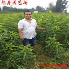 安宁易成活专业培育樱桃苗有哪些优势图片