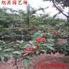 济宁高产黑珍珠樱桃苗价格实惠