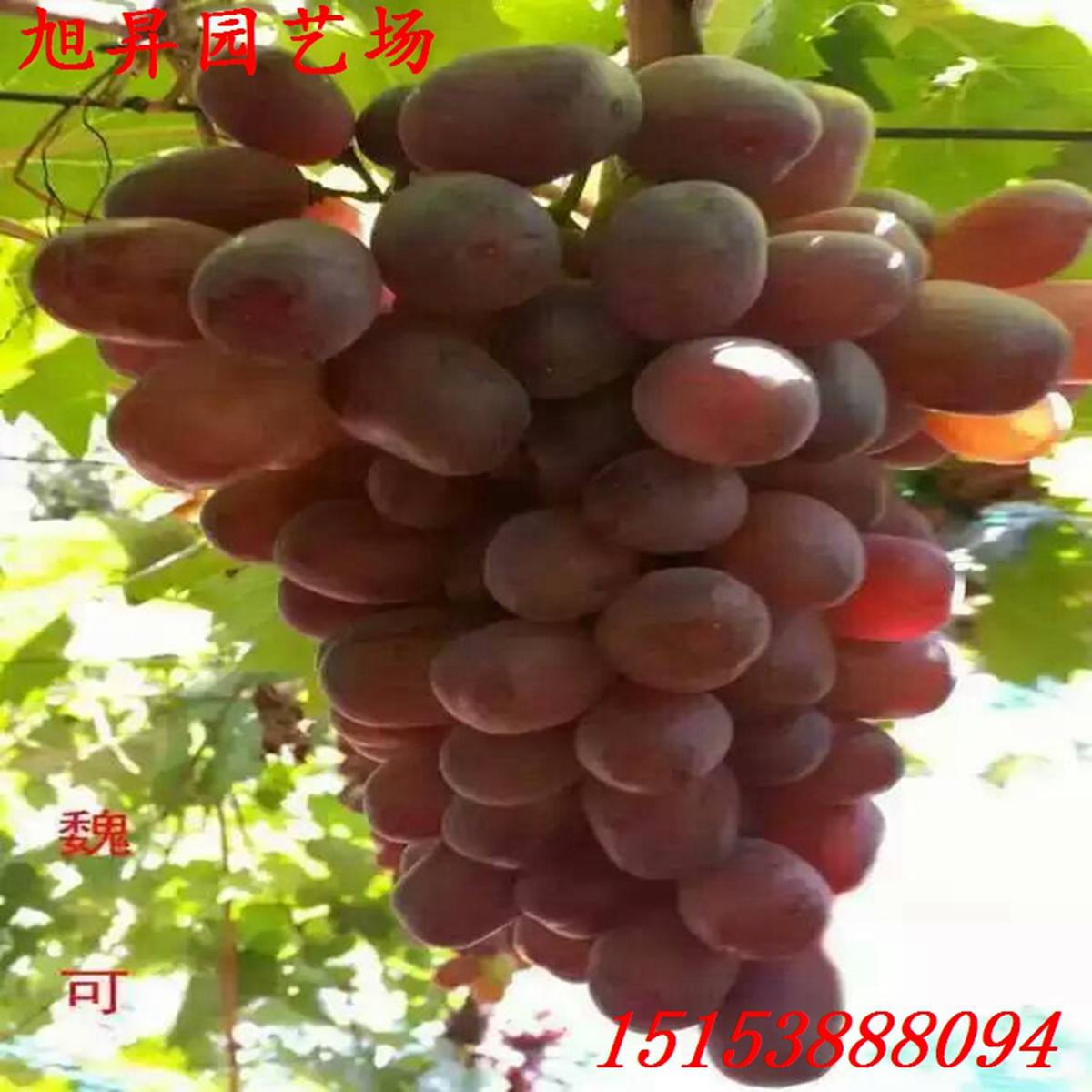 云南葡萄-百科