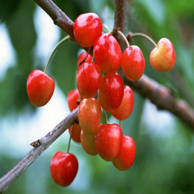 桑提娜樱桃苗一亩产量多少淄博