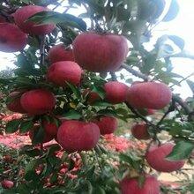 烟0号苹果苗,中秋王苹果苗铸造辉煌图片