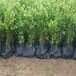 蔡甸莱克西蓝莓苗致富新品种