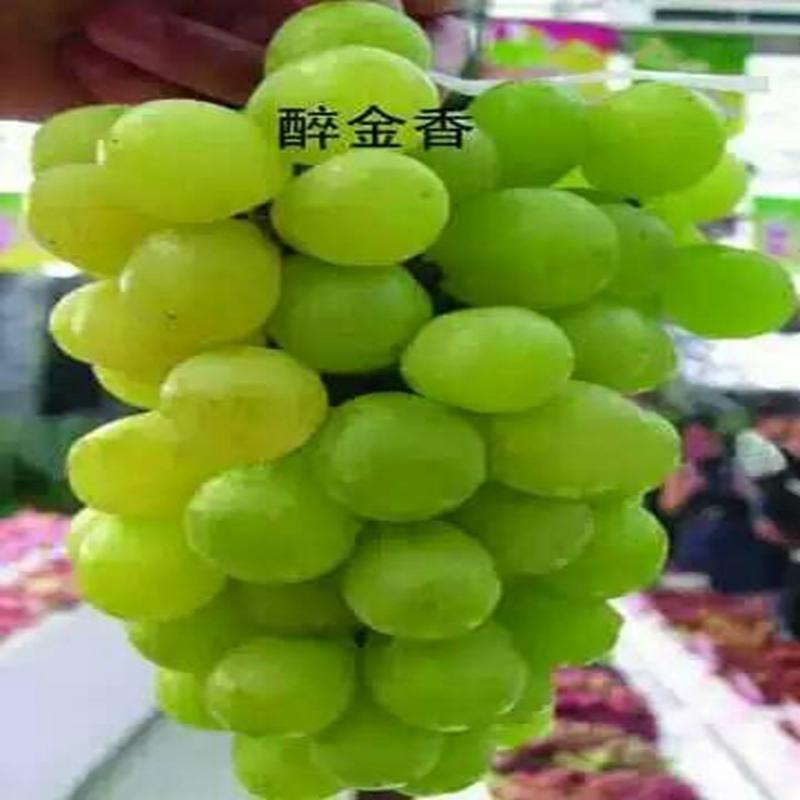 紫甜无核葡萄苗,超级无核葡萄苗超丰产``
