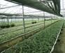 2016年农村致富项目有哪些?铁皮石斛种植加盟