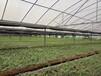 华夏本草铁皮石斛种苗原产地直供优良品种