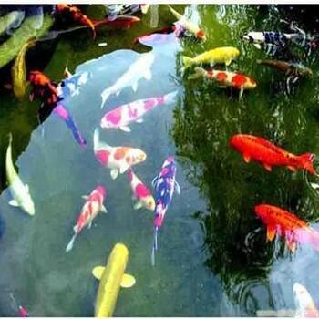 北京养殖1两到1斤锦鲤鱼苗批发价格观赏鱼技术指导