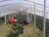 山东大棚菠菜滨州名门菠菜代办惠民菠菜销售