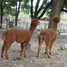 羊驼品种羊驼图片羊驼多少钱