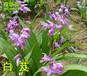 药材飘香致富首选奇草荟三叉紫花白芨
