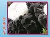 黑木耳菌种雪梅黑厚全筋