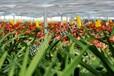 浙江温州批发出售蝴蝶兰,鲜艳高品质蝴蝶兰花,种植基地供应