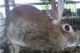兔子怎么解决不孕