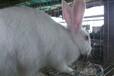 内蒙最大的兔子养殖基地,种兔养殖行,纯种种兔价格,我场包回收