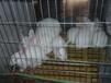 兔子价格,纯种种兔多少钱一只,全国报价,纯种獭兔,肉兔,野兔,长毛兔价格