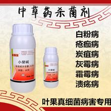 核桃(tao)炭疽(ju)病特效藥(yao)防治(zhi)技術立體防治(zhi)圖片