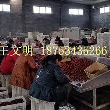 批发新疆大枣首选乐陵果丰红枣厂家