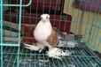 精品彩背鸽子出售颜色齐全价格低