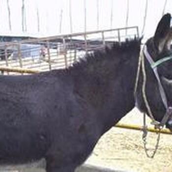 肉驴养殖前景如何肉驴养殖技术肉驴养殖场