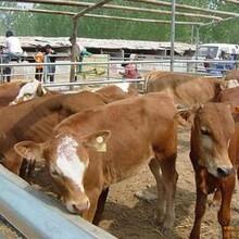 魯西黃牛養殖前景改良肉牛多少錢一頭肉牛養殖場圖片