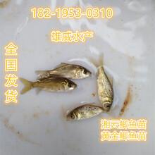台山台湾泥鳅鱼苗阳春桂花鱼苗顺德黄骨鱼苗
