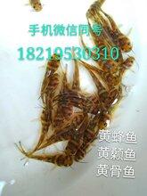 老虎斑鱼苗批发价格淡水石斑鱼苗出售花斑鱼苗供应图片