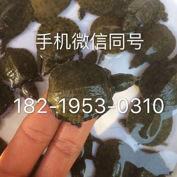 广东甲鱼苗,中华鳖鱼苗,杂交水鱼苗批发价格
