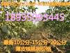 供應今年最新8公分核桃樹10公分核桃樹核桃樹價格山西核桃樹基地
