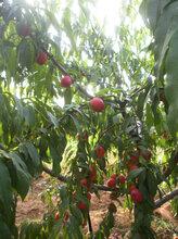 吐鲁番5凤凰联盟登录分水蜜桃树价格量大从优,10凤凰联盟登录分水蜜桃树价格图片
