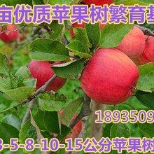 大量出售3公分苹果树+4公分苹果树5公分苹果树价格图片