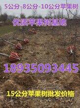 出售8公分苹果树+10公分苹果树价格15公分苹果树多少钱一棵图片
