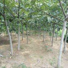 臨沂10公分核桃樹價格品質優良圖片