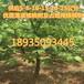 3公分4公分5公分6公分8公分核桃樹價格