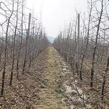 今年苹果树产地报价3公分8公分9公分10公分12公分15公分苹果树价格图片