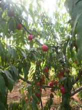 娄底5公分水蜜桃树价格品质优良图片