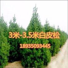 今年5米5白皮松多少钱一棵5米5白皮松产地价格图片