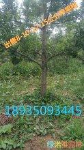 今年8公分苹果树价格10公分苹果树多少钱一棵?图片