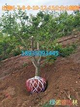 今年山楂树报价3公分5公分6公分8公分10公分12公分15公分山楂树产地价格图片
